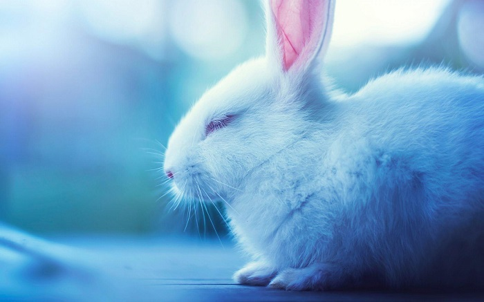 красивое фото кролика хиколь