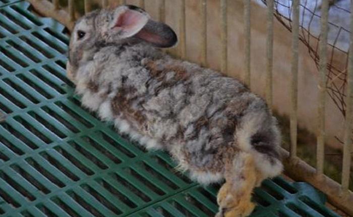 Печеночная болезнь кроликов