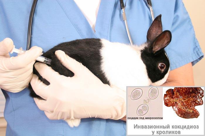 Вакцинация кроликов против кокцидиоза