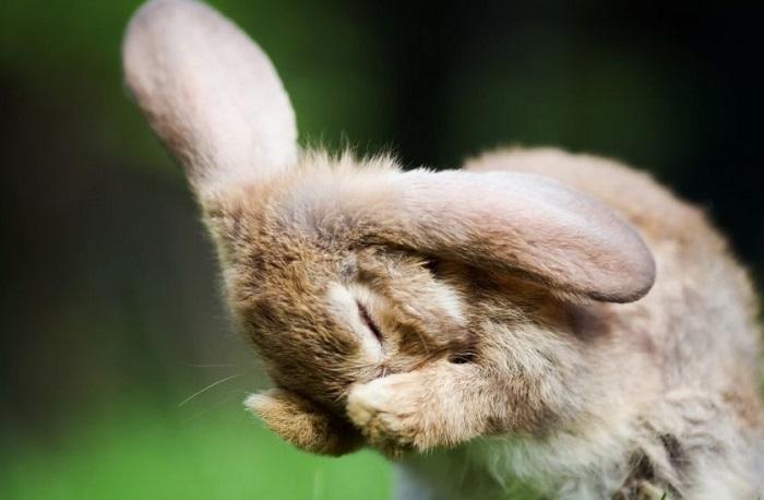 закрывает мордочку кролик