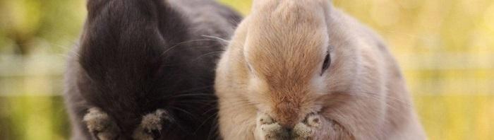 два кролика прикрыли мордочку