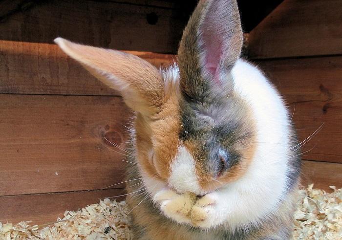 Чихание декоративных кроликов