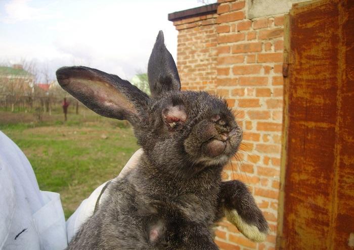 Кролик заболел миксоматозом