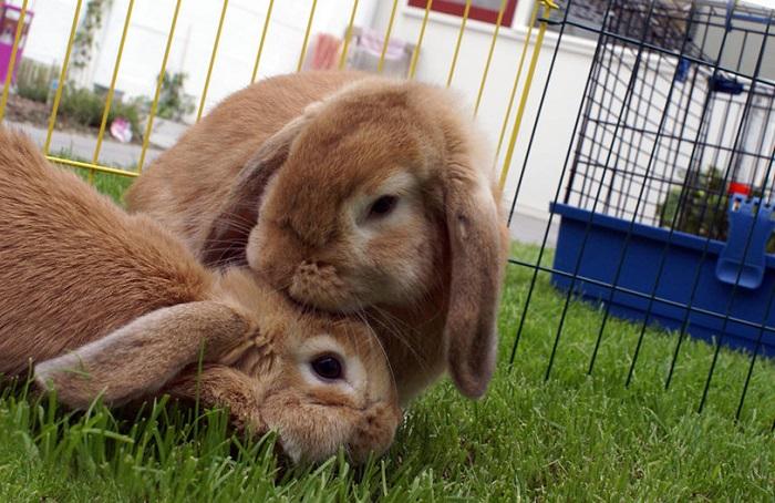 Сельскохозяйственные кролики