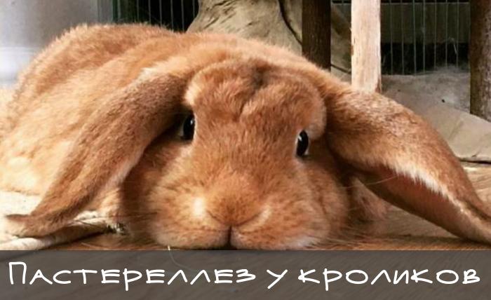 грустный больной кролик