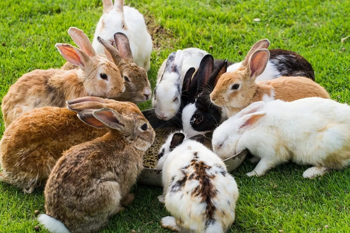 много кроликов на ферме