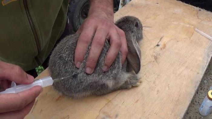 инъекции кролику антибиотики