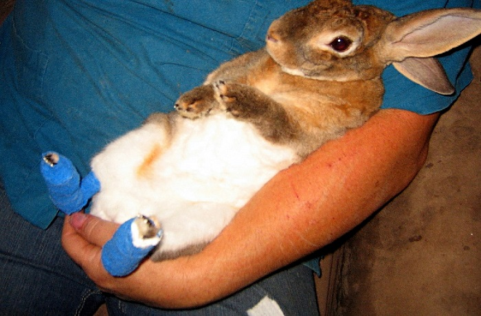 На лапах кролика пододерматит