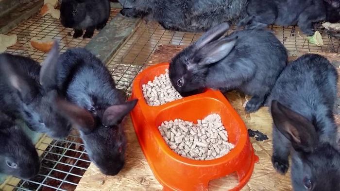 Бургундские кролики понос