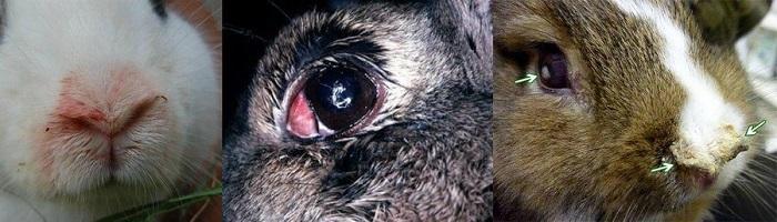 Геморрагическая септицемия у кроликов