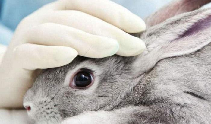 Инфекционный ринит у кроликов: симптомы и лечение