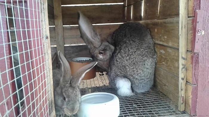 Гной из ноздрей кролика