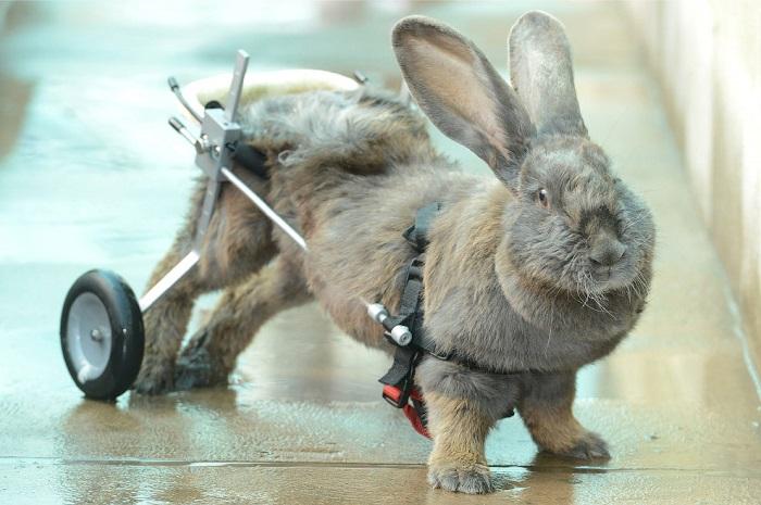 парализованный кролик на ходулях