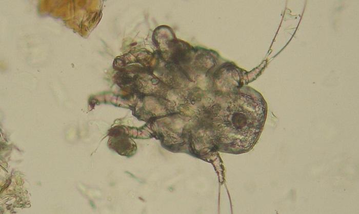 Отодектоз микроскопия