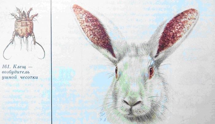 Подкожный клещ у кролика