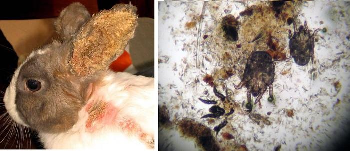 Кролик больной псороптозом