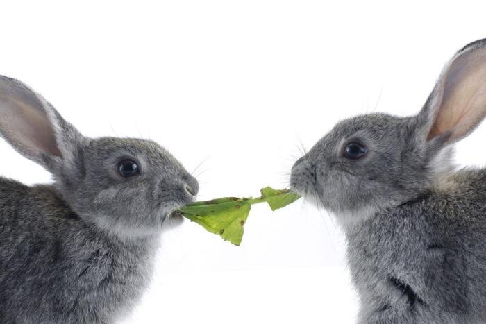 Венский голубой кролик рацион питания