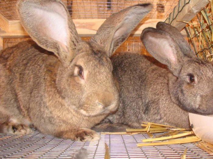 кролик фландр