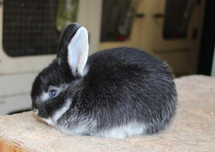 кролик лисья порода серебристый