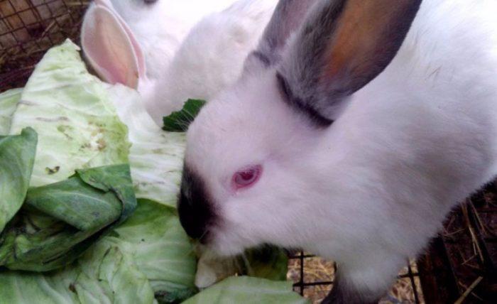 калифорнийский кролик капуста