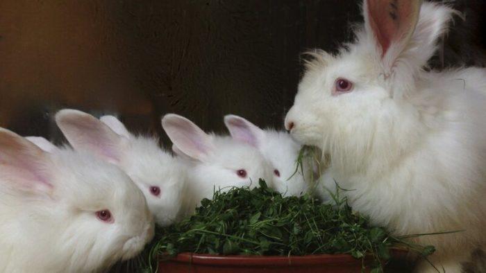 рацион кроликов