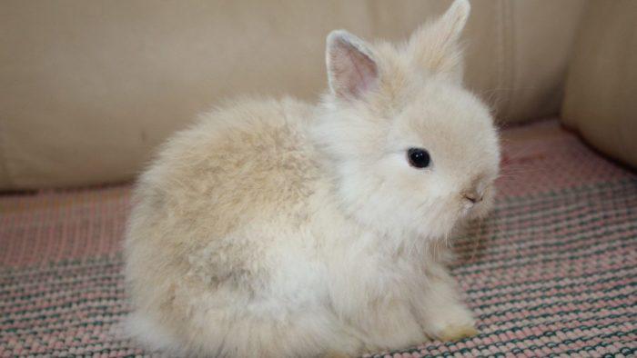 Ангорский крольчонок
