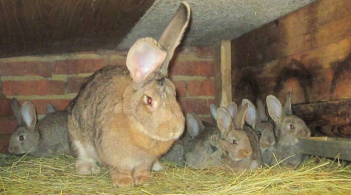 крольчата ризен