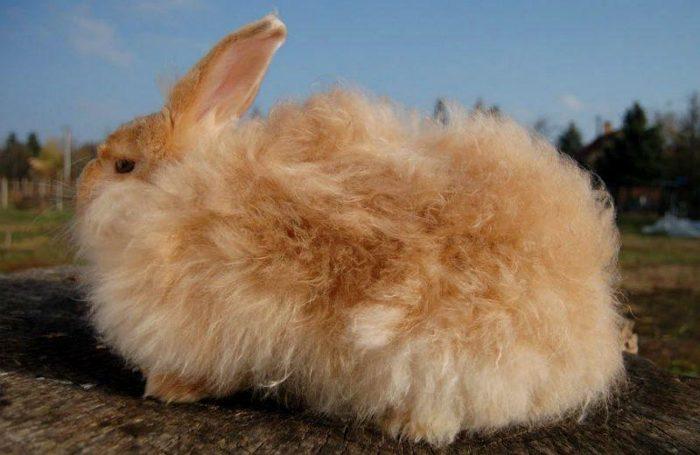 Коричневый ангорский кролик