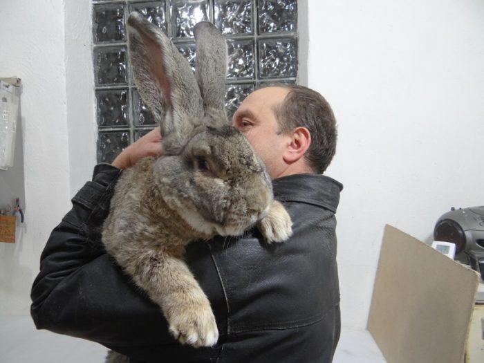 кролик фландр на руках