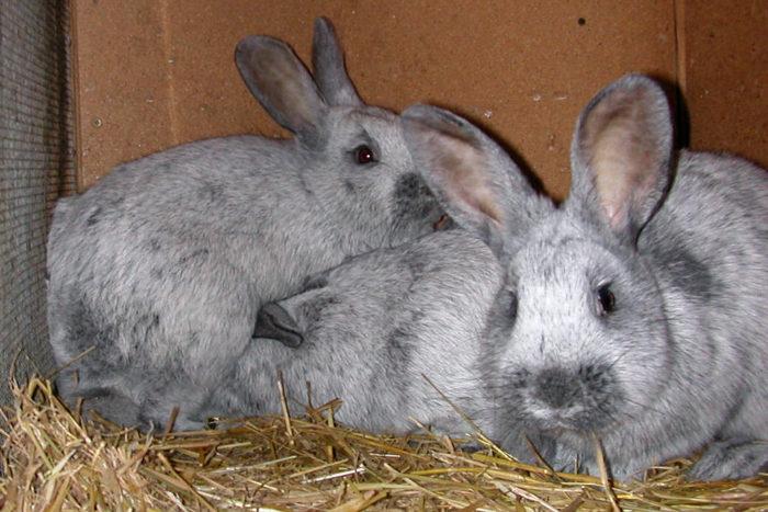 кролик серебро