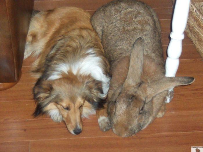 кролик ризен собака