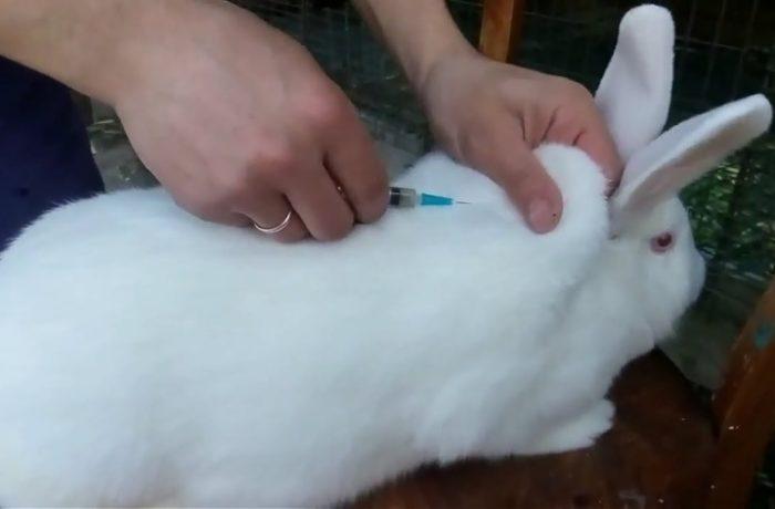белый паннон кролик прививка