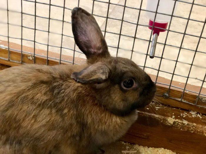 Венский голубой кролик поилка