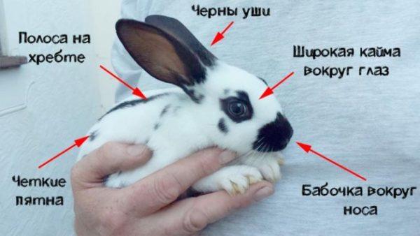 кролик бабочка внешний вид