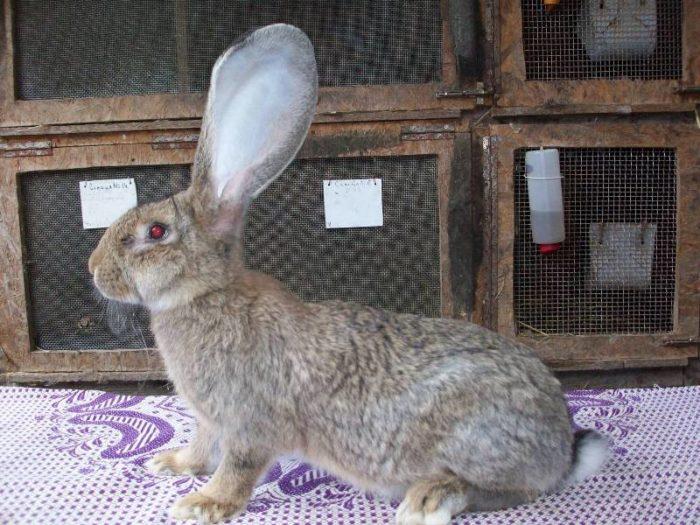 кролик ризен