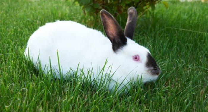 калифорнийский кролик трава