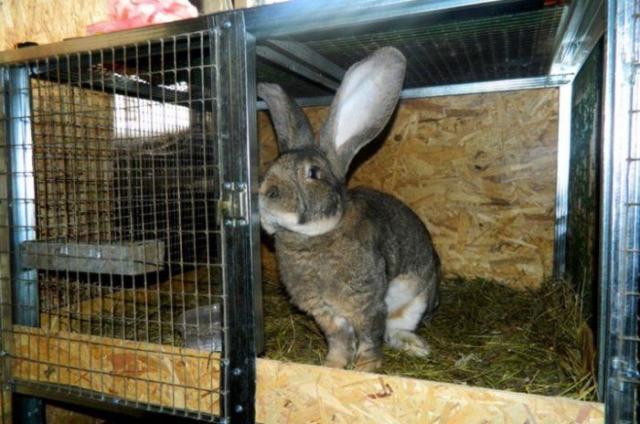 кролик великан клетка