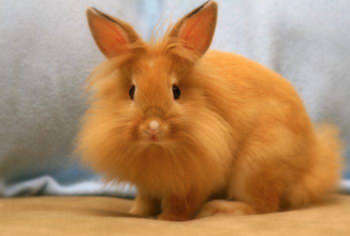 кролик лисья порода