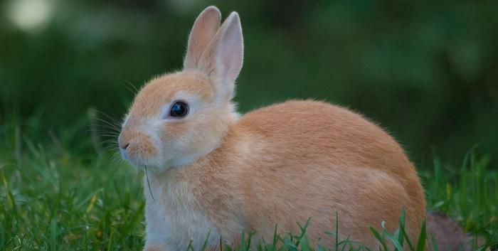 светлый кролик