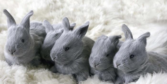 четыре кролика