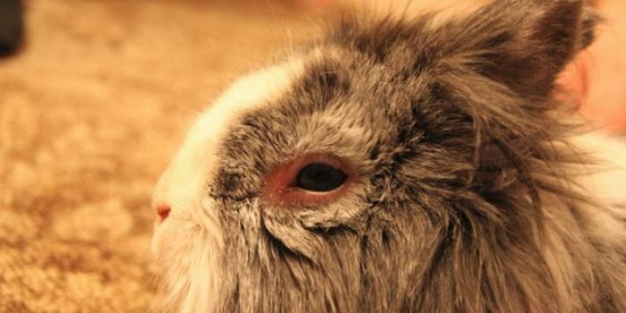 больной глаз у кролика