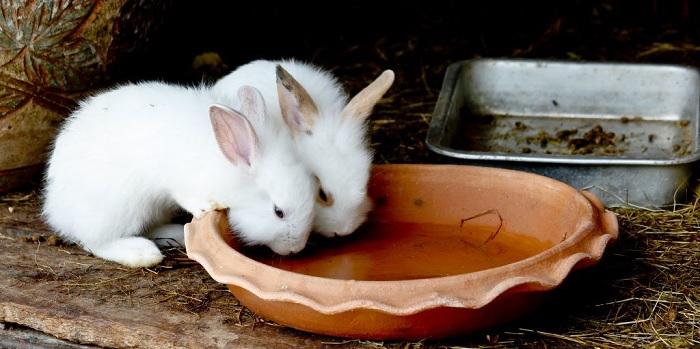 воду пьут кролики