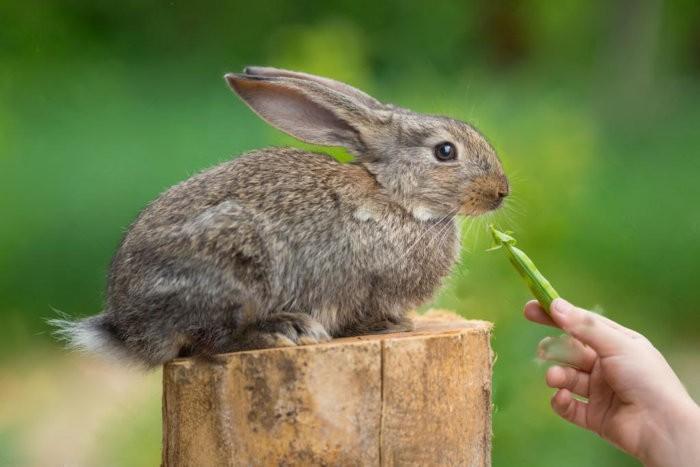 Кролики едят горох