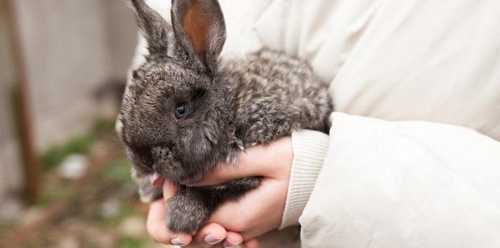 серый кролик на руках