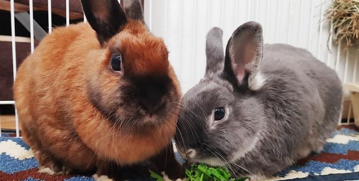 коричневый кролик