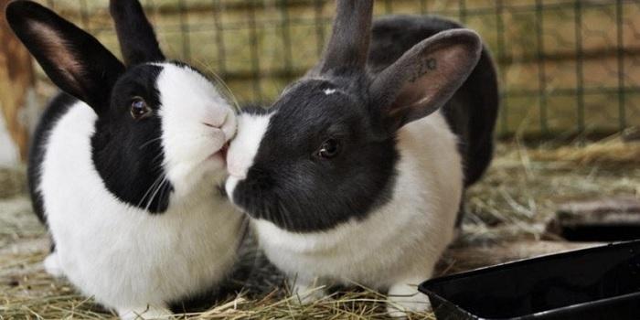 черно белый кролик