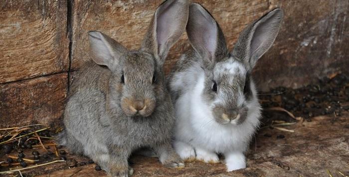 серый и светлый кролик