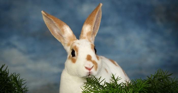 кролик пятнистый