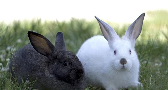 кролики белый и черный
