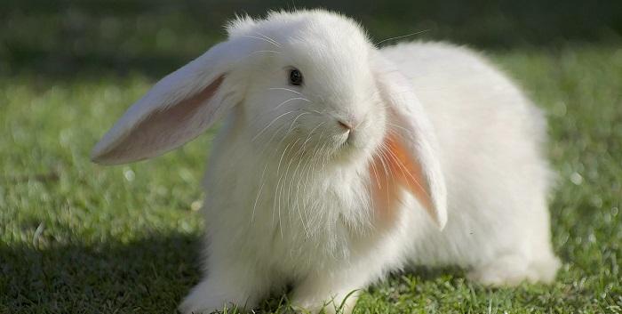 белый кролик на траве